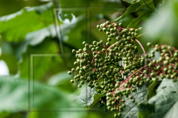 Rispe mit grünen Holunderbeeren