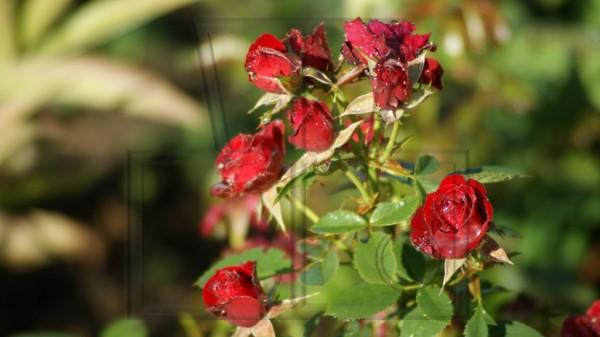 Beetrose mit Wassertropfen auf roten Blüten