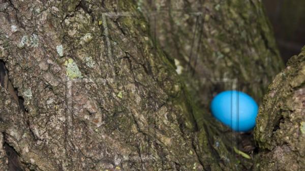 Stamm einer Korkenzieher-Weide mit blauem Osterei im Hintergrund