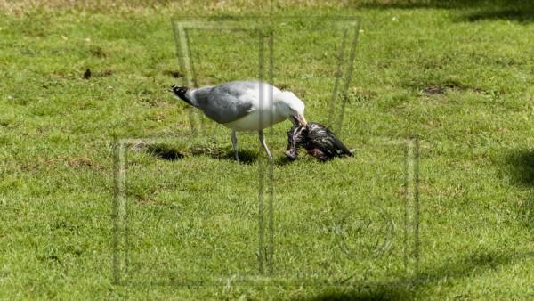 Möwe mit einem toten Vogel im Schnabel