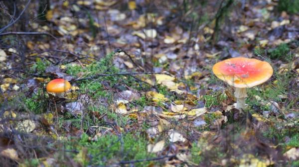2 orange-rote Fliegenpilze nach dem Regen