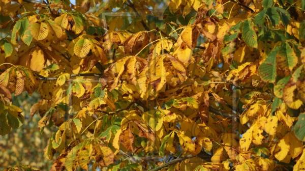Blätter einer Kastanie im Herbst