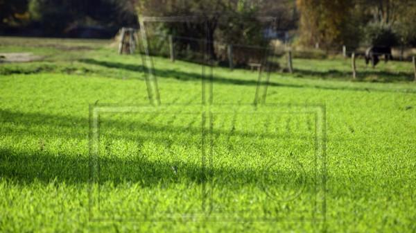 Schatten auf Feld mit junger Swischensaat