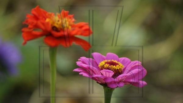 eine lila Zinienblüte