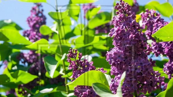 lila Blütentraube eines Flieders