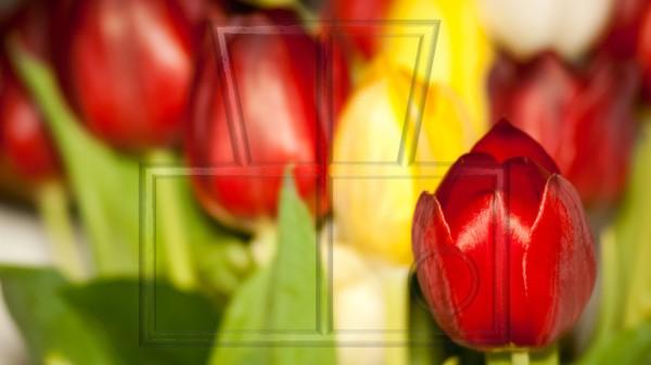 rote Tulpenblüte mit gelben und roten im Hintergrund