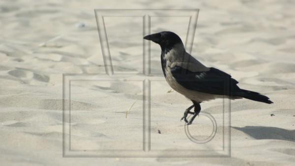 laufende Nebelkrähe am Strand