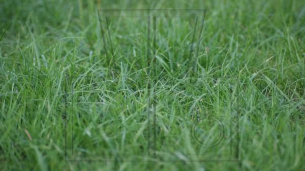 Ausschnitt eines ungeschnittenen Rasens