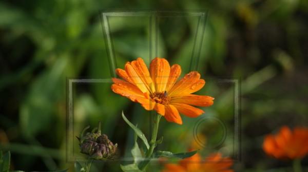 orange Blüte einer Ringelblume mit Fliege und Regentropfen