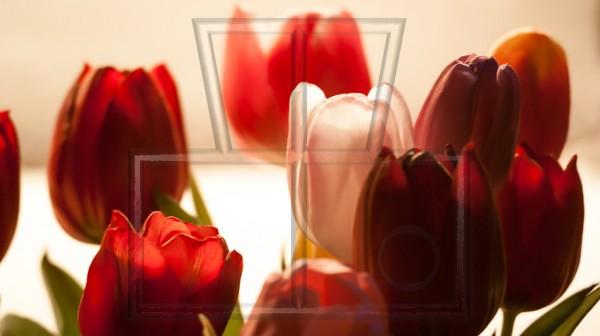 eine weiße Tulpe zwischen einigen roten