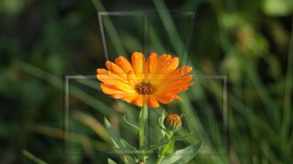 orangene Blüte einer Ringelblume mit Wasserperlen