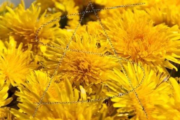 Goldgelbe Löwenzahnblüten als Makro