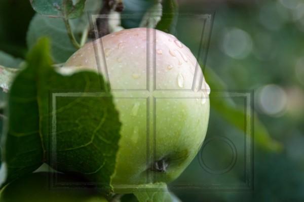 teilverdeckter Apfel nach Regem