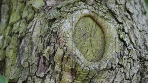 Rinde eines alten Birnenbaums