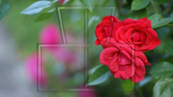 3 rote Blüten einer Kletterrose