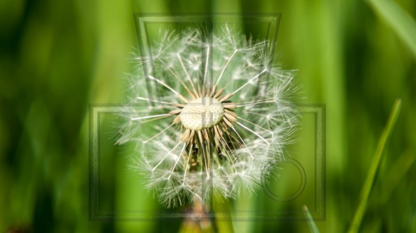 Pusteblume zur Hälfte ohne Samen