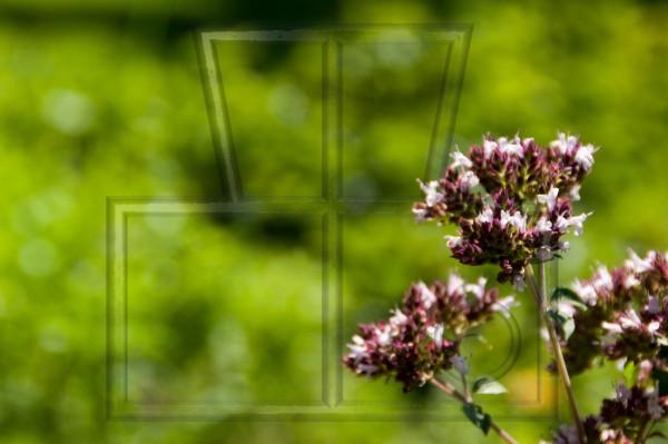 Majoranblüten vor einem grünen Boket