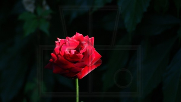 rote Rosenblüte dunkel umgeben