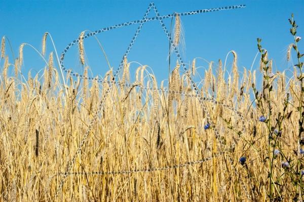 Getreidefeld unter blauem Himmel mit blauer Kornblume