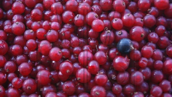 viele rote und eine schwarze Johannisbeere