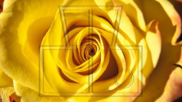 gelbe Rosenblüte als Nahaufnahme