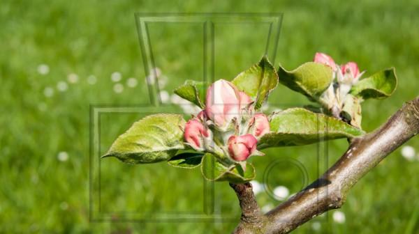 junge Blüten am Zweig eines Apfelbaums