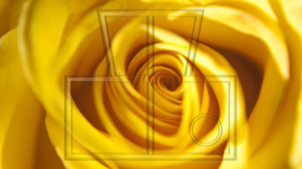 Makro einer gelben Rosenblüte