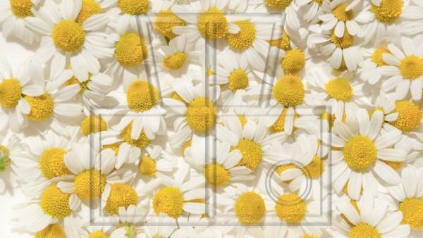 Kamillenblüten auf weiß