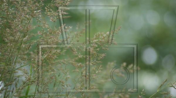 Blüten einer Grasart