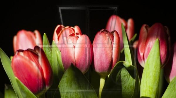 rote Tulpenköpfe im Licht- Schatten-Spiel