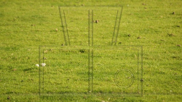 Wiesen-Champignons auf einer Schafsweide
