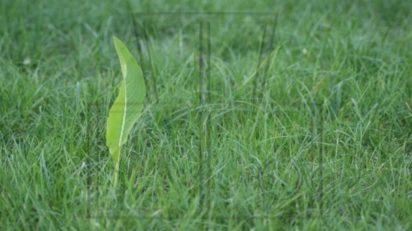 einzelnes Sauerampferblatt auf Rasen