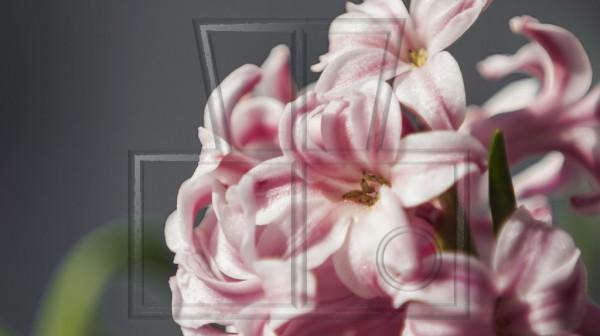 einige rosa-weiße Blüten einer Hyazinthe