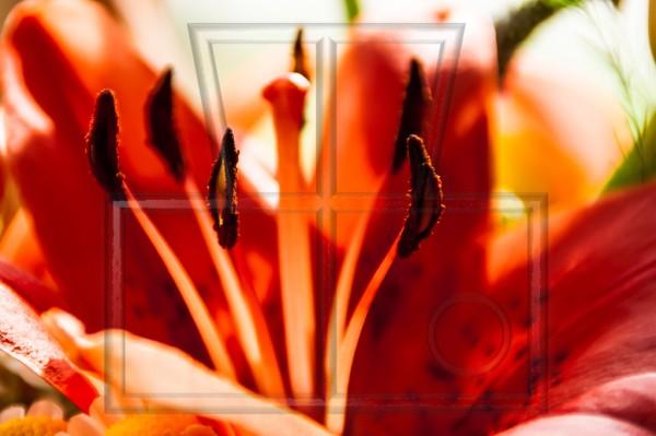 Staubblätter einer roten Lilie