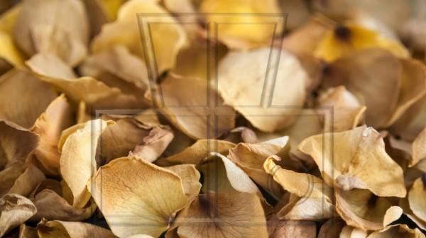 getrocknete Blütenblätter von Rosen gelb-beige