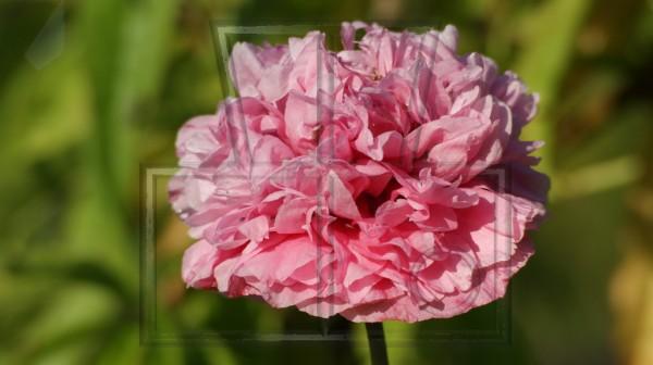 rosa Blüte eines geflüllten Ziermohns