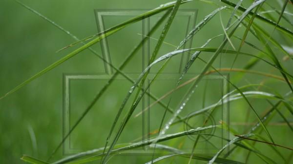 Regentropfen auf Ziergrasblätter