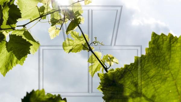 Sonnen strahlt zwischen jungen Weinblättern