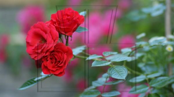 drei rote Beetrosenblüten am Zweig