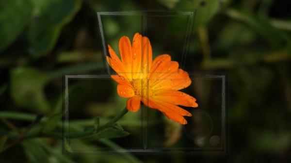 Regentropfen auf gelb-orangener Ringelblumenblüte