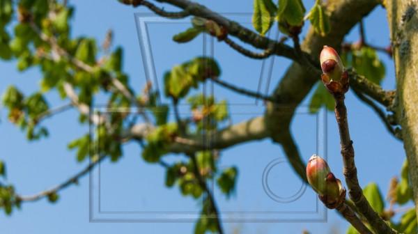 zwei junge Triebe eines Kastanienbaums