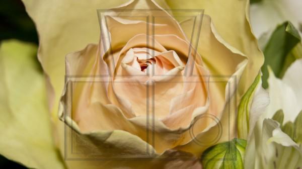 Makro einer rosa-beigen Rosenblüte