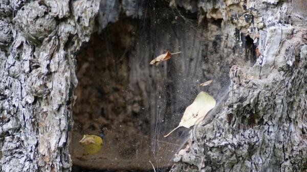 hohler Baum von Spinnenweben verschlossen