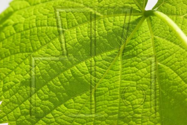 Weinblattstruktur sonnendurchleuchtet