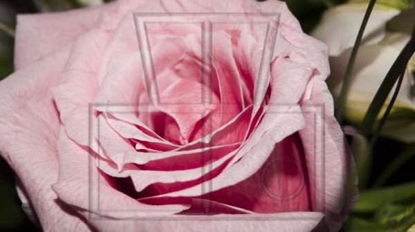 Blüte einer rosa Rosa