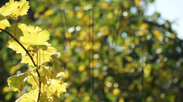 gelbe Weinblätter vor sonniger Herbstkulisse